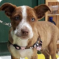 Adopt A Pet :: SweetTart-Adopted! - Detroit, MI