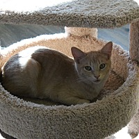 Adopt A Pet :: Dennis - Fountain Hills, AZ