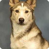 Adopt A Pet :: Luna - Anchorage, AK