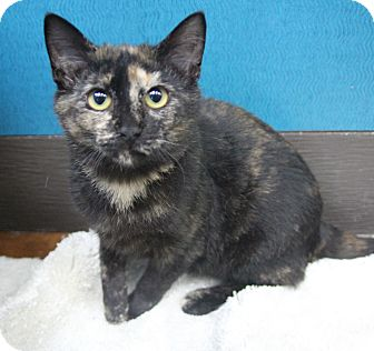 Domestic Shorthair Kitten for adoption in Benbrook, Texas - Lila