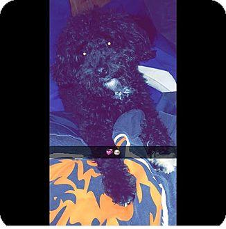 Maltese/Poodle (Miniature) Mix Dog for adoption in Springfield, Virginia - Levi