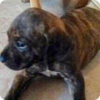 Adopt A Pet :: Ariel - Tampa, FL