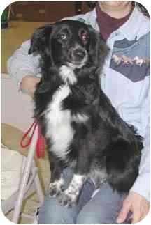 Border Collie/Sheltie, Shetland Sheepdog Mix Dog for adoption in Tiffin, Ohio - Sugar Pop