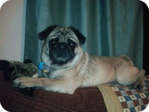 Pug Dog for adoption in South Amboy, New Jersey - Mortimer