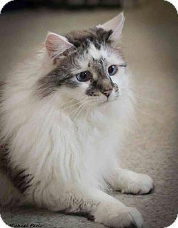 Ragdoll Cat for adoption in Davis, California - Jules