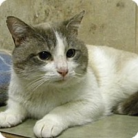 Adopt A Pet :: Mr Blu - Bartlett, IL