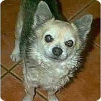 Adopt A Pet :: Star - dewey, AZ