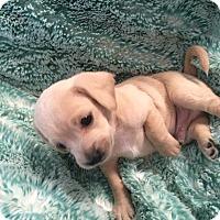 Adopt A Pet :: Biscuit - Los Angeles, CA