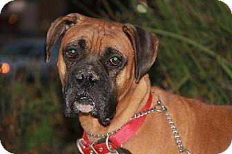 Boxer Dog for adoption in Los Angeles, California - GORDON
