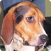 Treeing Walker Coonhound Mix Dog for adoption in Germantown, Maryland - Daisy Tee