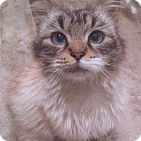 Adopt A Pet :: Marble - Merrifield, VA