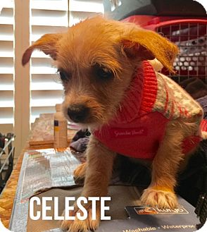 Wirehaired Fox Terrier/Dachshund Mix Puppy for adoption in Glendale, Arizona - CELESTE