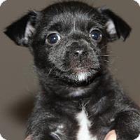 Adopt A Pet :: Ellie - Doylestown, PA