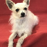 Adopt A Pet :: Chino - Garland, TX
