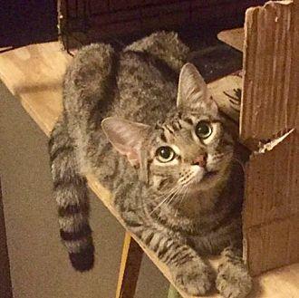 Domestic Shorthair Cat for adoption in St. Louis, Missouri - Thomas Rhett