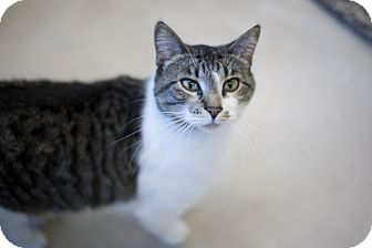 Domestic Shorthair Cat for adoption in Chicago, Illinois - Maruja