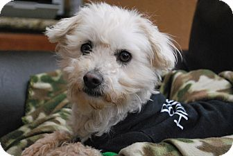Poodle (Miniature)/Terrier (Unknown Type, Small) Mix Dog for adoption in Mission Viejo, California - HARLEY