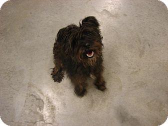 Scottie, Scottish Terrier Mix Dog for adoption in Fort Scott, Kansas - Scottie