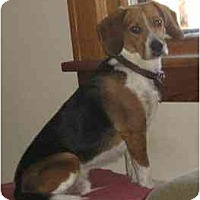 Adopt A Pet :: Buddy Beagle - Belleville, MI