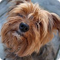 Adopt A Pet :: Rocco - Grafton, MA