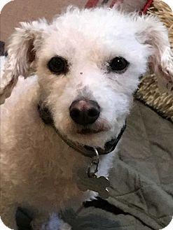 Bichon Frise Dog for adoption in Baltimore, Maryland - Chase