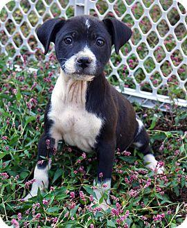 Beagle/Labrador Retriever Mix Puppy for adoption in Newark, Delaware - Betty