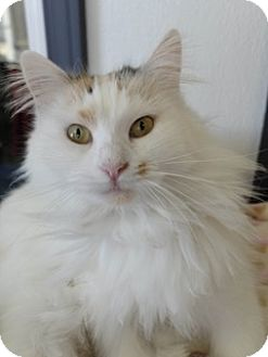 Domestic Longhair Cat for adoption in Martinsville, Indiana - Prissy