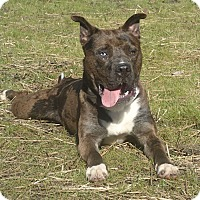 Australian Shepherd/Pit Bull Terrier Mix Dog for adoption in Newport, North Carolina - Dingo