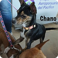 Adopt A Pet :: Chano - Vancouver, BC
