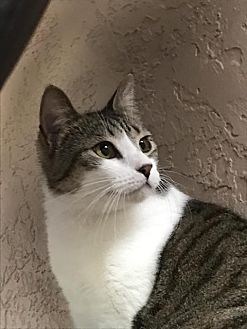 Domestic Shorthair Cat for adoption in Ocala, Florida - Velma