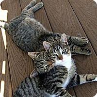 Adopt A Pet :: Luke Skywalker - Rohrersville, MD