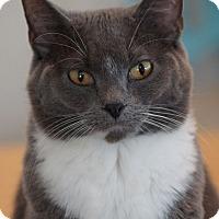 Adopt A Pet :: Gingersnap - St. Louis, MO