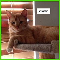 Domestic Shorthair Cat for adoption in Miami, Florida - Oliver