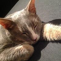 Domestic Shorthair Cat for adoption in New York, New York - Gradie