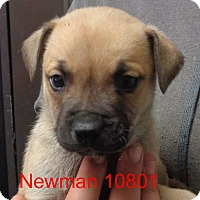 Adopt A Pet :: Newman - Greencastle, NC