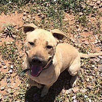 Shepherd (Unknown Type)/Labrador Retriever Mix Dog for adoption in Clarkdale, Arizona - Joe