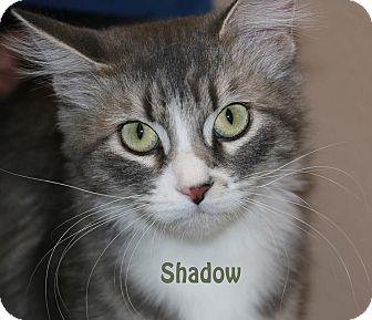 Domestic Mediumhair Cat for adoption in Idaho Falls, Idaho - Shadow