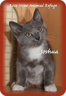 Domestic Shorthair Kitten for adoption in Waterbury, Connecticut - Joshua