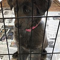 Adopt A Pet :: Sylvie - Greensboro, GA