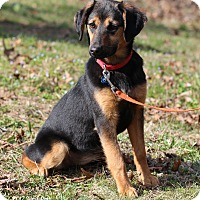 Adopt A Pet :: Rose - Bedford, VA