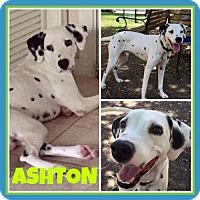Adopt A Pet :: Ashton - Fort Collins, CO