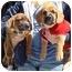 Photo 2 - Beagle/Boxer Mix Puppy for adoption in Spring Valley, California - Beagle/Boxer Pups