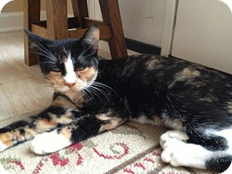 Domestic Shorthair Kitten for adoption in East Hanover, New Jersey - Trixie