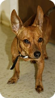 Chihuahua Mix Dog for adoption in Muskegon, Michigan - Bogey
