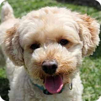 Bichon Frise Mix Dog for adoption in La Costa, California - Dougie