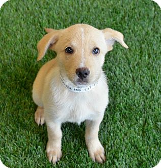Labrador Retriever Mix Puppy for adoption in Cumming, Georgia - Sparrow
