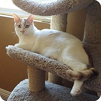 Turkish Van Cat for adoption in Mission Viejo, California - Cassie