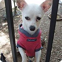 Adopt A Pet :: Shay - Santa Monica, CA