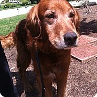 Adopt A Pet :: Rusty - New Canaan, CT