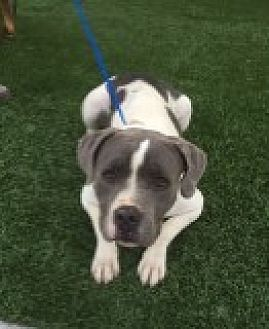 Pit Bull Terrier Mix Dog for adoption in Las Vegas, Nevada - Bella